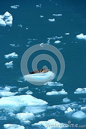 Harbor seals in ice floe
