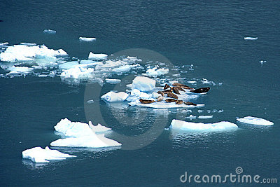 Harbor seals in ice floe