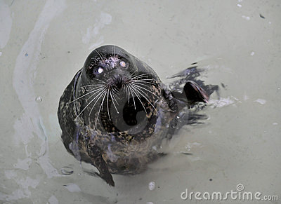 The Harbour(or Harbor) Seal.