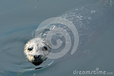 Harbour seal in sea