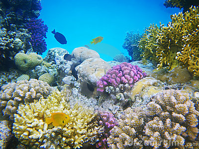 Hard-coral reef in Red sea