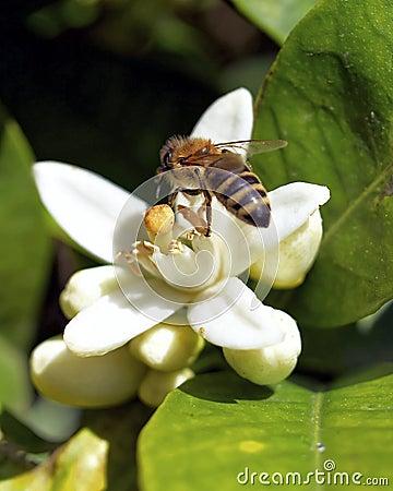 Hard working honey bee
