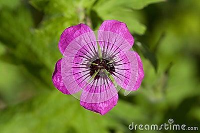 Hardy Purple Geranium