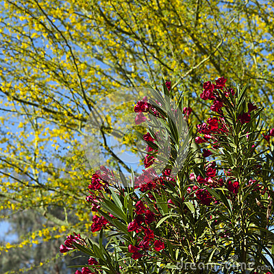 Hardy Red Oleander