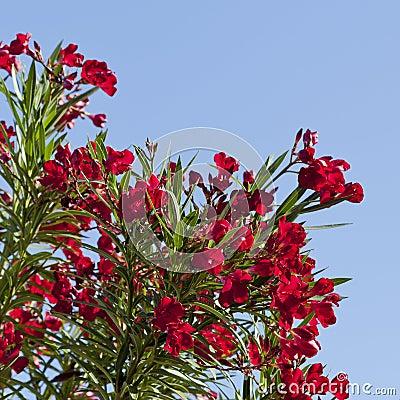 Arizona s Hardy Red Oleander