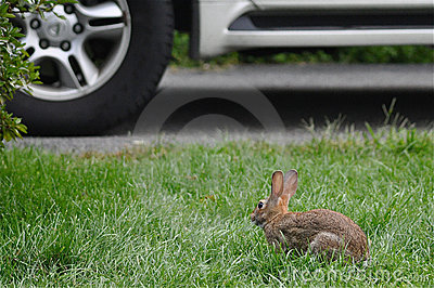 Hare In Danger