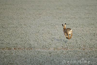 A hare on a frosty morning