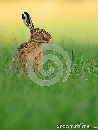 Hare ( Lepus europaeus )