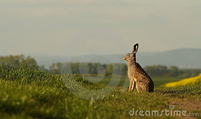 A hare sitting on the balk.