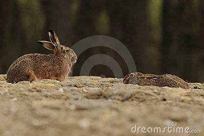 Hares on a Field