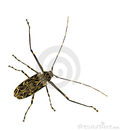 Harlequin Beetle Royalty Free Stock Image - Image: 14221766