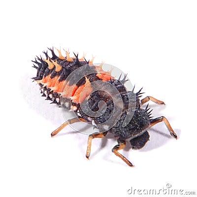 Free Harlequin Ladybird Larvae (Harmonia Axyridis) Stock Photo - 49631500