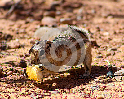 Harris Ground Squirrel