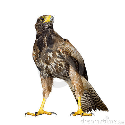 Free Harris Hawk Stock Image - 3168071