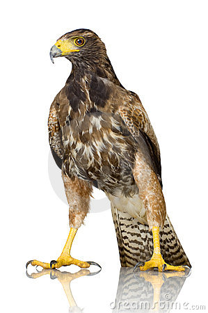 Free Harris Hawk Royalty Free Stock Photo - 3168095