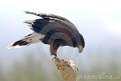 Harris Hawk with Falconer 2