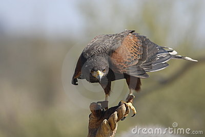 Harris Hawk with Falconer 3