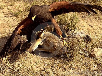 Harris Hawk Fighting Prey