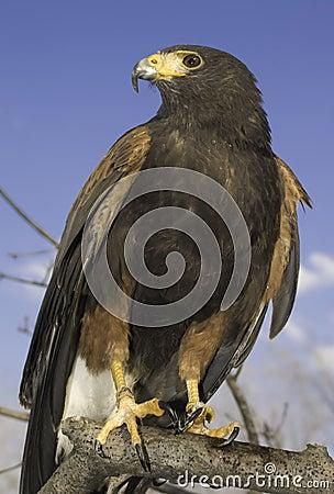 Harris Hawk (male)