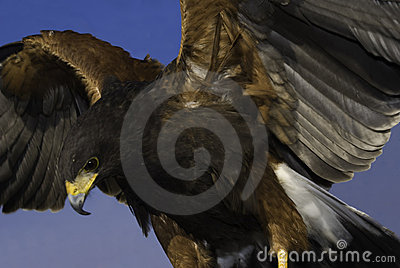 Harris Hawk (male)