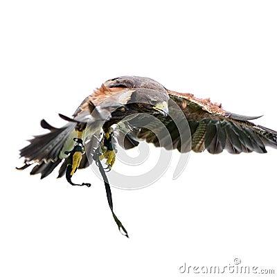 Harris s Hawk (18 months)