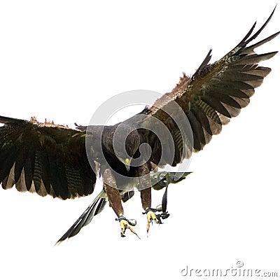 Free Harris S Hawk (18 Months) Stock Photos - 2928623
