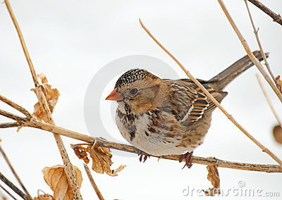 Harris s Sparrow perched on a dry flower