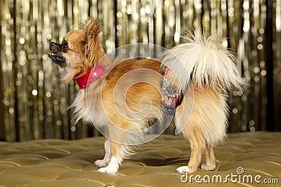 Harry small dog