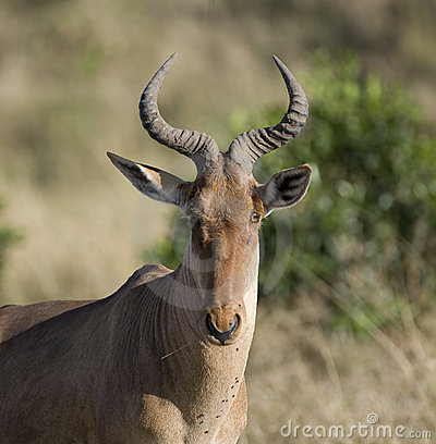 Hartebeest on the Masai Mara