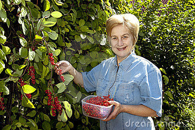 Harvest berries of schizandra