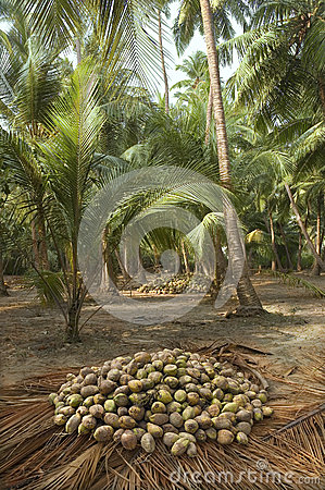 Harvest coconuts collected