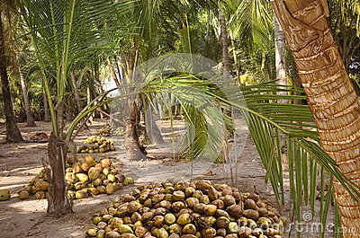 Harvest coconuts under the palm trees