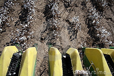Harvest of Cotton