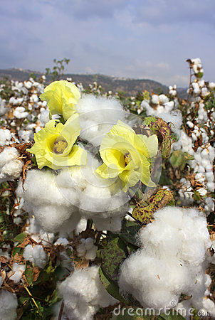 Harvest of cotton