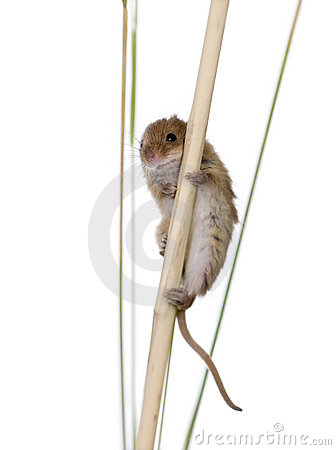 Harvest Mouse, in front of a white background