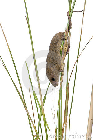 Harvest Mouse in front of a white background