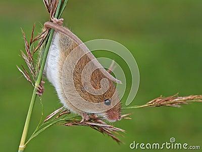 Harvest mouse/Micromys minutus