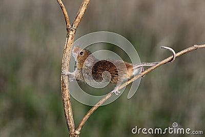 Harvest mouse, Micromys minutus