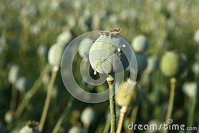 Harvest of opium from poppy