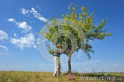 Harvest plum