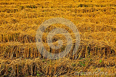 Harvest rice farms.