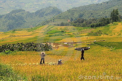 Harvest in the rice field