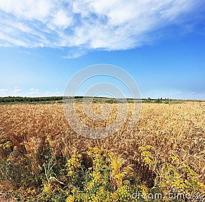 Harvest ripe in a kibbutz in May