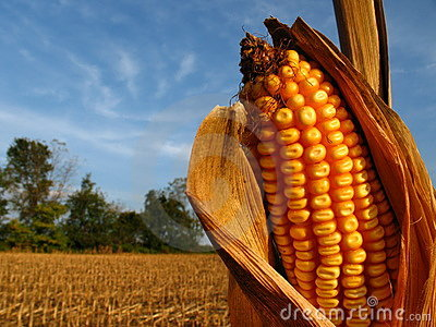 Harvest Season Corn