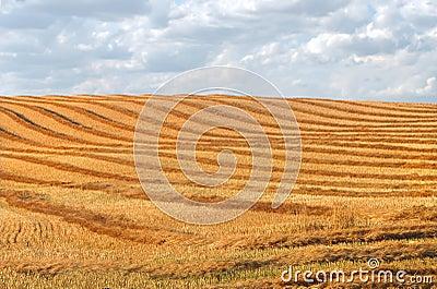 Harvest swathing in a prairie field