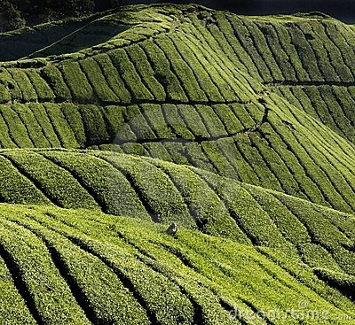 Harvest of tea-leaves