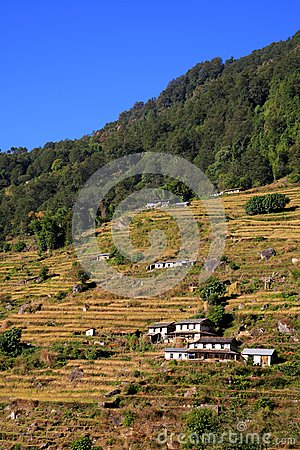 Harvest,Terrace Rice Paddy Field