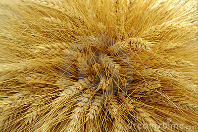 Harvested barley