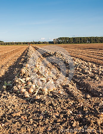 Free Harvested Onions Drying In The Afternoon Sun Royalty Free Stock Photo - 26742565