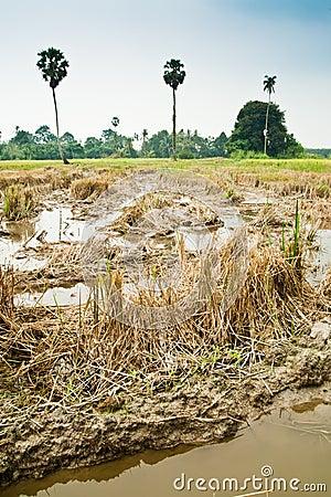 Harvested Padi Field